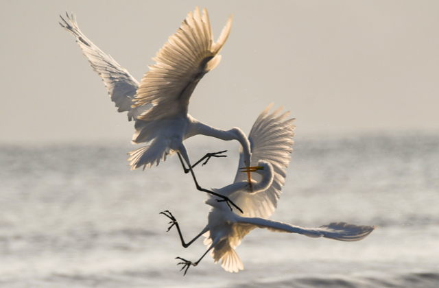 Two Great Egrets battle for territorial fishing rights